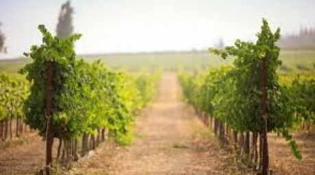 Vineyards2